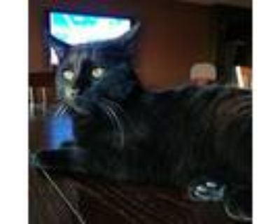 Panther [cp], Domestic Shorthair For Adoption In Oakland, California