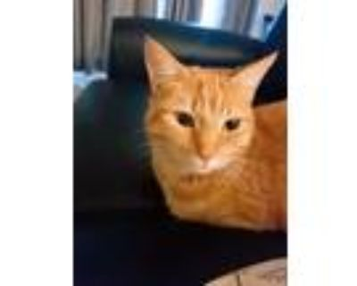 Adopt Lily a Orange or Red Tabby Domestic Shorthair / Mixed (short coat) cat in
