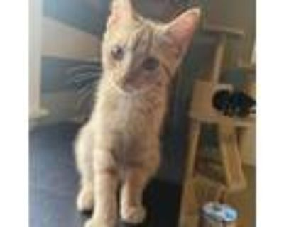 Adopt Claude a Orange or Red Domestic Shorthair / Mixed cat in Gibsonia