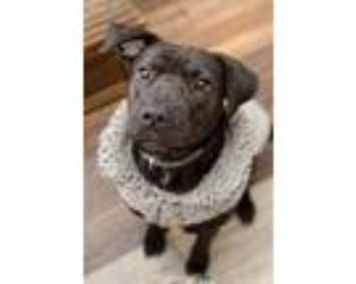 Adopt Lulu a Labrador Retriever / American Pit Bull Terrier / Mixed dog in