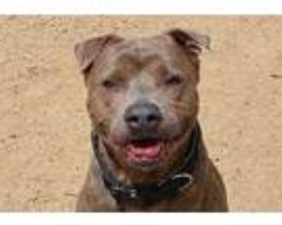 Bear, American Staffordshire Terrier For Adoption In Palm Springs, California