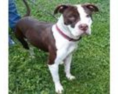 Adopt Asia a Pit Bull Terrier