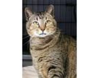 Manning, Manx For Adoption In Cordell, Oklahoma