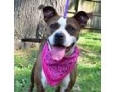 Pitney Spears ($25 Adoption Fee East Campus), American Pit Bull Terrier For