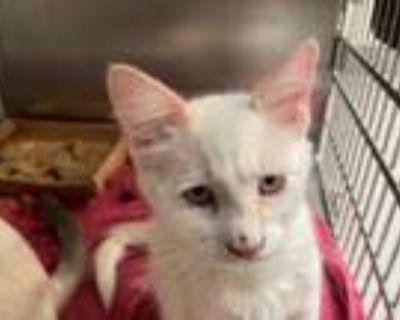 Adopt BOLIN a Siamese, Domestic Short Hair