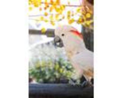 Adopt Valentino a Cockatoo