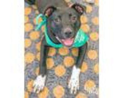 Adopt Holland a Black - with White Labrador Retriever / Mixed dog in Washington