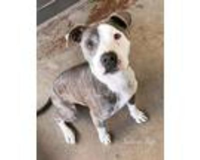Adopt Bree a Brindle - with White American Pit Bull Terrier / Mixed dog in Simi