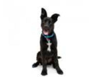 Adopt Finley a Black Labrador Retriever, Siberian Husky