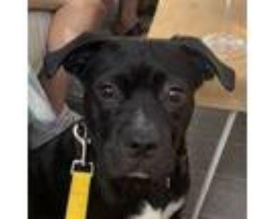 Adopt Milhouse IN LA!!! a Black - with White Boxer / Labrador Retriever / Mixed