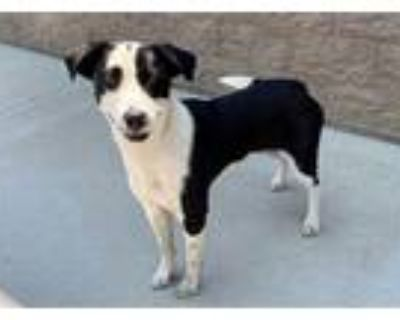 Adopt a Black - with White Border Collie / Mixed dog in Modesto, CA (32058780)
