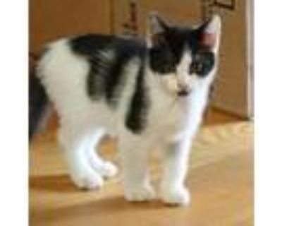 Adopt CT Bling Avail July 31 a All Black Domestic Shorthair / Mixed cat in