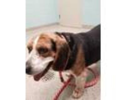 Adopt Cliff a Black Beagle / Mixed dog in Noblesville, IN (31491565)