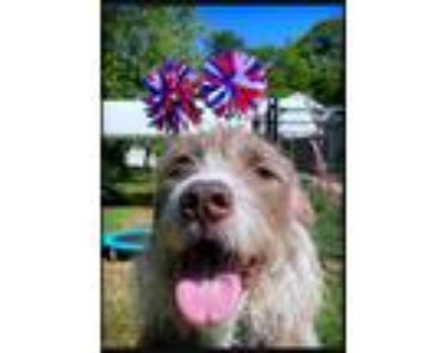 Adopt Kylo Jace a Wirehaired Pointing Griffon