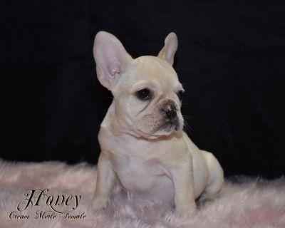 French Bulldog Puppies CREAM MERLE  & BRINDLE Females !