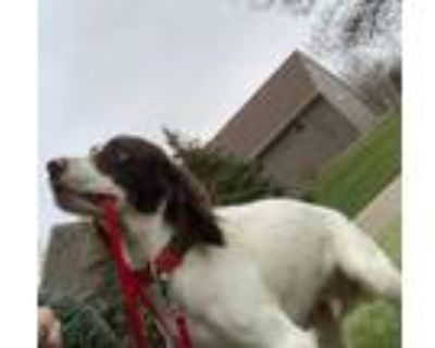 Adopt Lollipop a Black - with White Brittany / Spaniel (Unknown Type) / Mixed