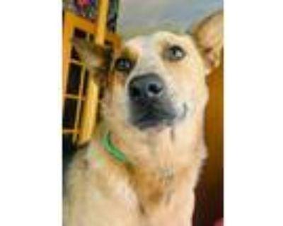 Adopt Roo a Australian Cattle Dog / Blue Heeler