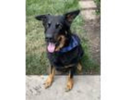 Adopt Charlie a Black - with Tan, Yellow or Fawn German Shepherd Dog / Mixed dog