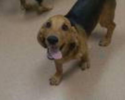 Adopt Rocky a Red/Golden/Orange/Chestnut Basset Hound / Mixed dog in Boulder