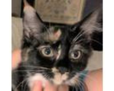 Adopt Lily Rose a Tortoiseshell Domestic Shorthair / Mixed cat in Cumming