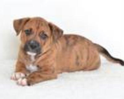 Adopt A591456 a Catahoula Leopard Dog, Mixed Breed