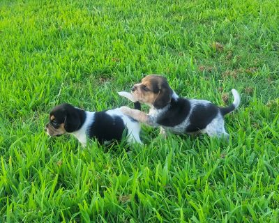 Champion Bred Beagle Puppies Only 2 Left!!!