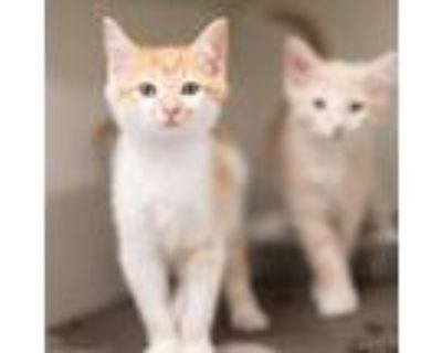 Adopt Miso a Orange or Red Domestic Shorthair / Domestic Shorthair / Mixed cat