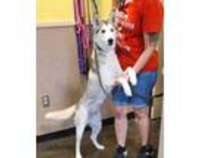 Adopt Arizona a White Husky / Mixed dog in Rockwall, TX (31953592)