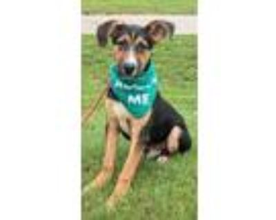 Adopt Saige a Brown/Chocolate German Shepherd Dog / Mixed dog in Clay Center