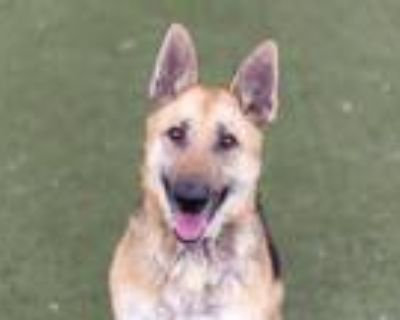 Adopt VULA a Brown/Chocolate - with Black German Shepherd Dog / Mixed dog in