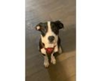 Adopt Oreo a Black - with White American Staffordshire Terrier / Rottweiler /