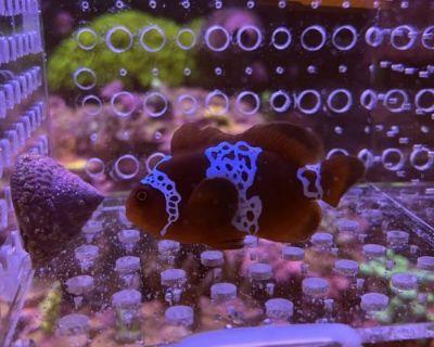 Los Angeles FS : Lightning Maroon Clown Fish
