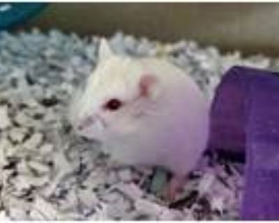 Adopt CORAL a Hamster