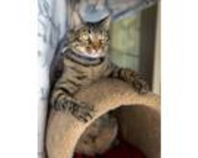 Adopt Nelly Nelson a Domestic Short Hair