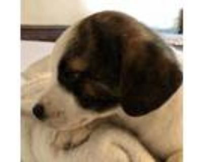 Adopt Wishbone a White - with Tan, Yellow or Fawn Feist / Shepherd (Unknown
