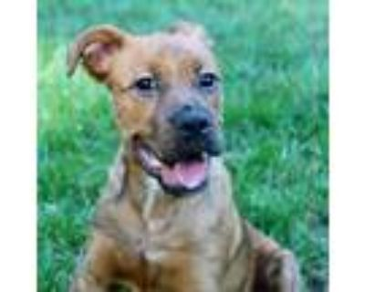 Adopt Schmidt a Brown/Chocolate Boxer / American Staffordshire Terrier / Mixed