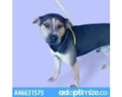 Adopt 46631575 a Black Shepherd (Unknown Type) / Mixed dog in El Paso