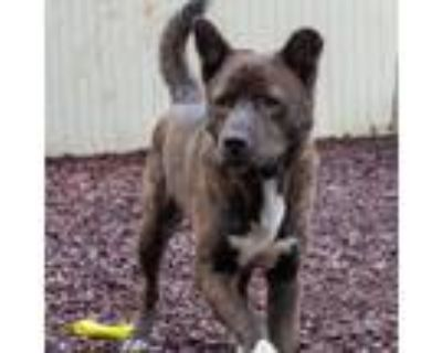 Adopt Trac a Cattle Dog, Pit Bull Terrier