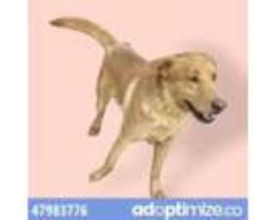 Adopt 47983776 a Black Retriever (Unknown Type) / Mixed dog in El Paso