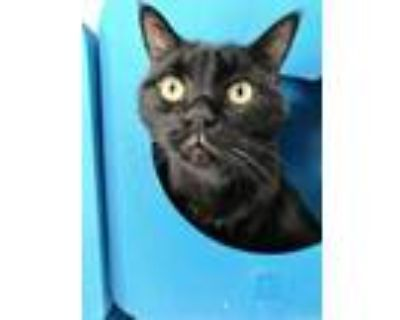 Gus, Domestic Shorthair For Adoption In Palm Springs, California