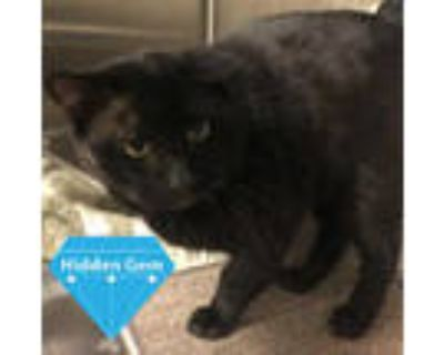 Adopt *HENDERSON a All Black Domestic Shorthair / Mixed (short coat) cat in