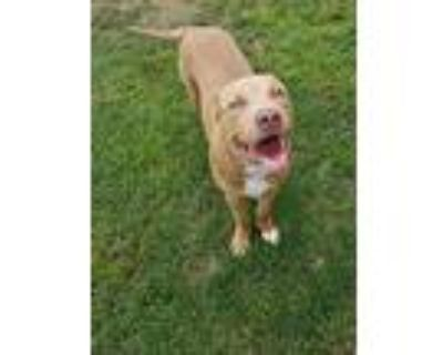 Kutty, Pit Bull Terrier For Adoption In Watauga, Texas