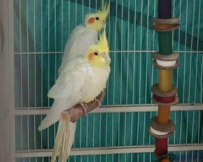 Male Cockatiel named Tom available for adoption