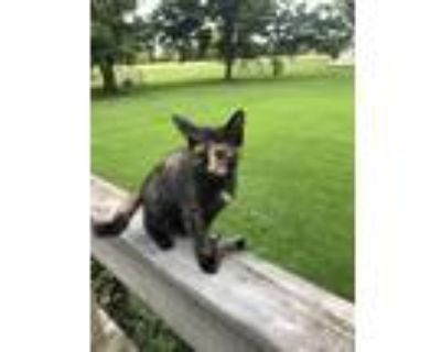 Adopt Mary Todd Lincoln a Calico or Dilute Calico Domestic Mediumhair / Mixed