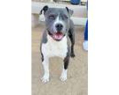 Adopt Paulie Pepperoni Picasso a Pit Bull Terrier