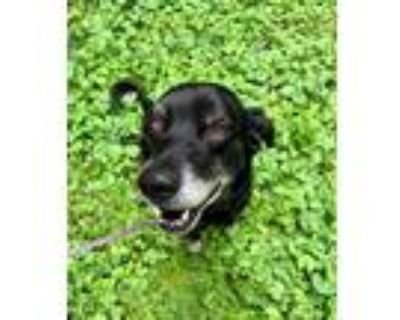 Adopt Dexter a Black - with White Labrador Retriever / Mixed dog in Greenwood