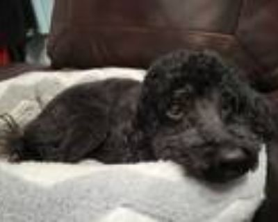 Adopt Thor a Black Poodle (Miniature) / Mixed dog in Prince William County