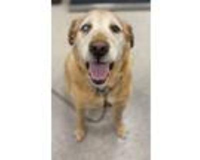 Adopt Hank a Golden Retriever, Labrador Retriever