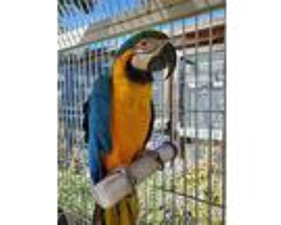 Madison, Macaw For Adoption In Elizabeth, Colorado