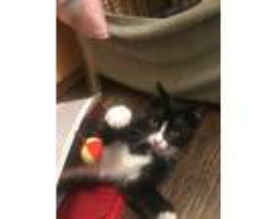 Adopt Basil a Black & White or Tuxedo American Shorthair (short coat) cat in